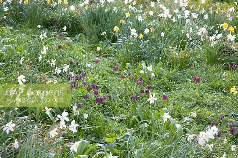 Mixed daffodils and Snakes Head Fritilaries:  Little Court, Hampshire, UK