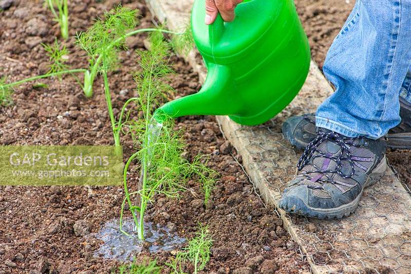 Watering young newly-planted Florence Fennel 'Rondo' plants using a watering can