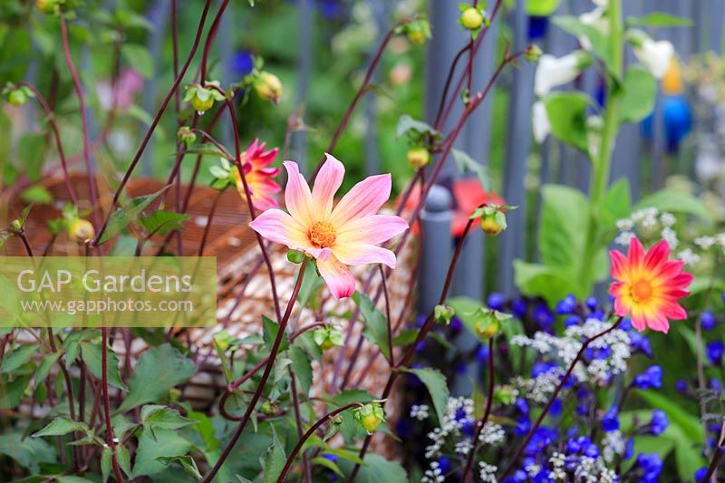 The Montessori Centenary Children's Garden. Detail of Dahlia 'Bright Eyes', with Anchusa azurea 'Loddon Royalist' and Anthriscus sylvestris 'Ravenswing' in the background. Sponsor:  Montessori Centre International