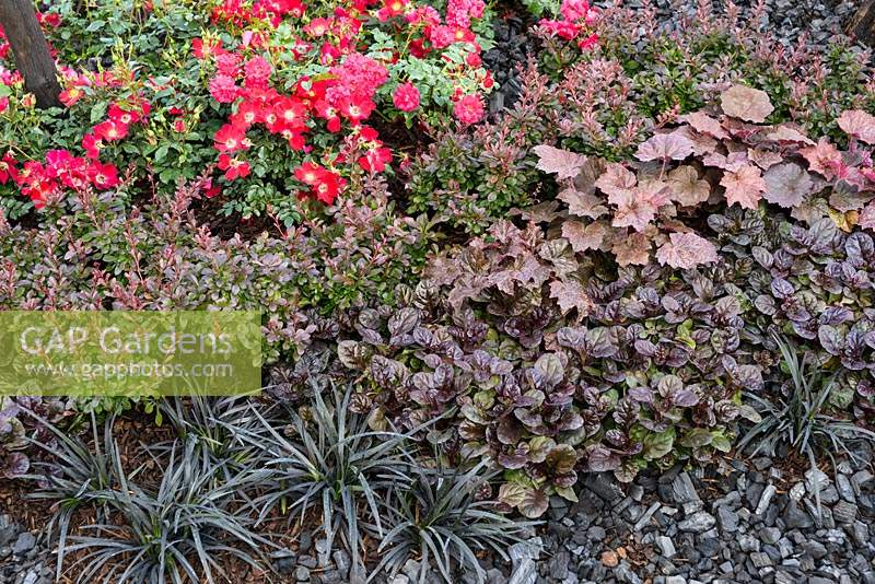 Dark foliage planting with red roses, Ajuga reptans 'Black Scallop', Heuchera 'Palace Purple'  and Ophiopogon - Ashes to Ashes, RHS Hampton Court Flower Show 2013, Contributors: Rumwood Nurseries, AVS Fensing.