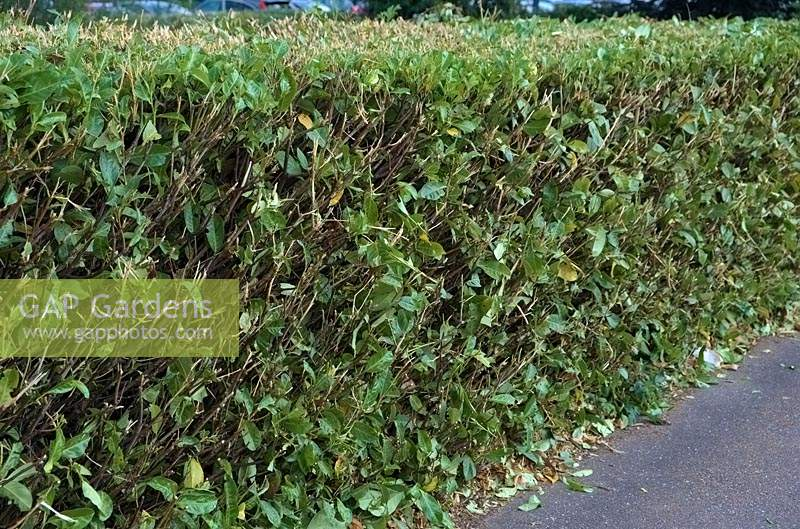 Cutting a  Prunus rotundifolia - Laurel - hedge with a mechanical device can leave an ugly mess