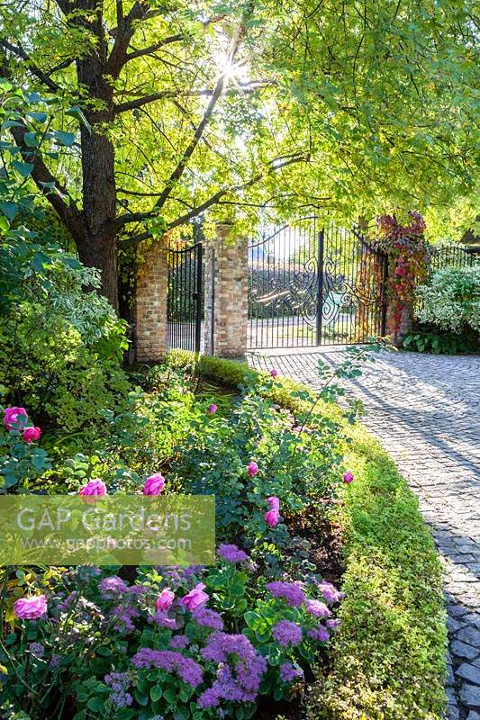 Entrance to the garden with contra jour lighting and sunburst. Low hedge of Spirea japonica Golden Princess and bed with Sedum and pink rose. Orekhovno garden, Orekhovno, Pskov Oblast region, Western Russia.