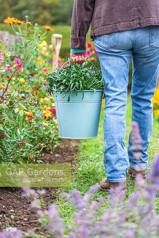 Woman walking with bucket of bare root Wallflowers ready for planting in Autumn.