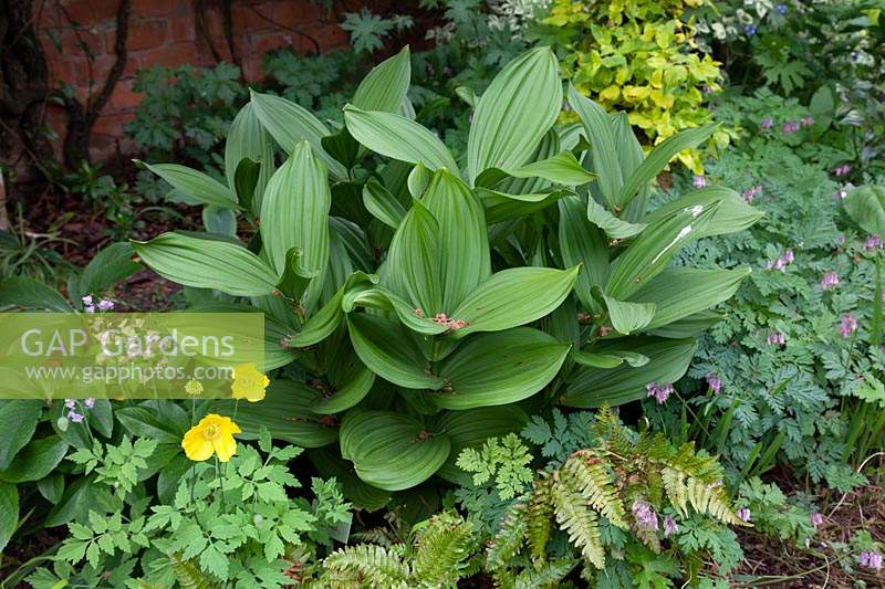 Veratrum californicum, May
