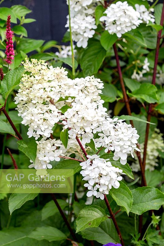 Contemporary garden in West London - planting includes Hydrangea Vanille Fraise.