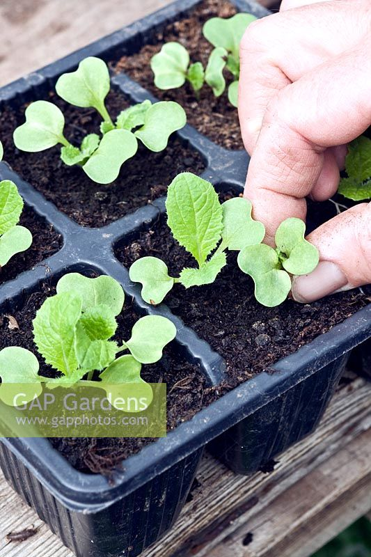 Using finger and thumb to thin out Chinese Cabbage seedlings grown in modular trays