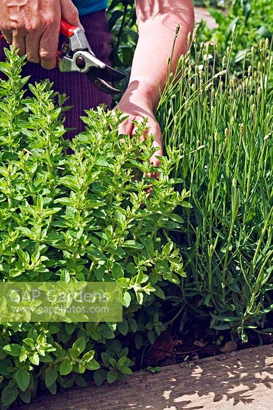 Cutting back Origanum majorana - Marjoram - to allow a Lavendula - Lavender - to grow