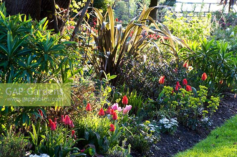 Flowering Tulipa - Tulip - in a mixed bed of shrubs and perennials