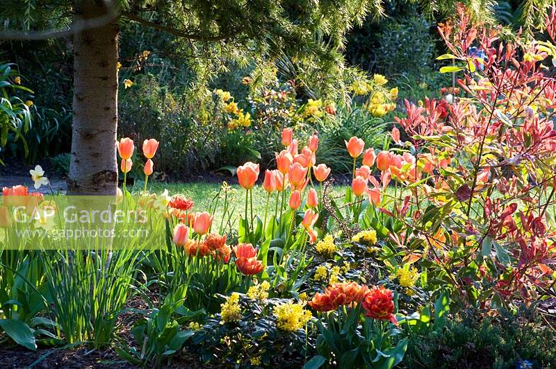 Bed with mixed Tulipa - Tulip - planted under conifer tree