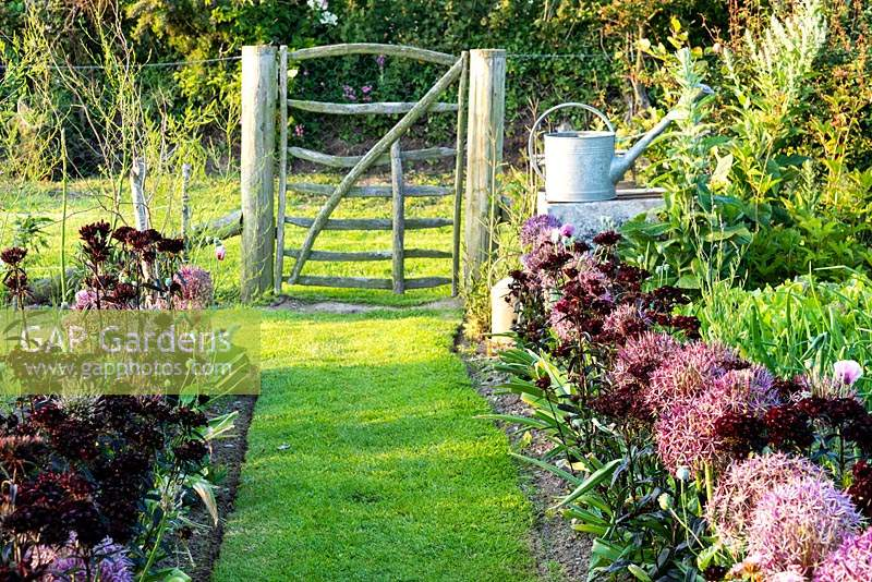 Vegetable garden with grass path leading to a simple paling gate between borders of Allium cristophii and Dianthus barbatus 'Nigrescens Group', 'Sooty' at Sea View, Cornwall, UK in June.
