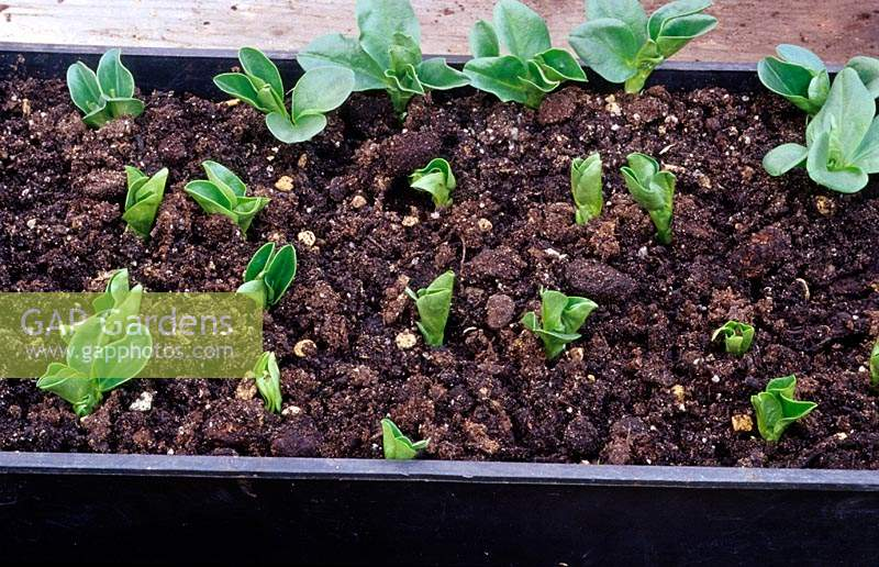 Broad beans germinating in a tray in a greenhouse.