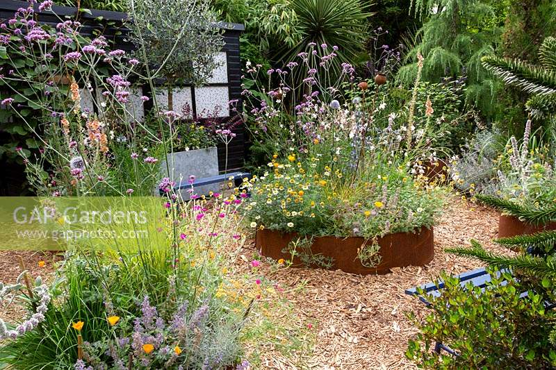 Modern cottage garden in West London. In corton steel raised beds planting includes Gaura Whirling Butterflies - tall white flowers, Lychnis coronaria - pink flowers, Nepeta 'Summer Magic' - Catmint, Eryngium Big Blue - Blue thistle and silver spikey leaves, Stachys byzantina Big Ears - Silver hair leaves with long silver flower spikes, Verbascum 'Caribbean Crush' - Tall apricot flower spikes, Anthemis 'Sauce Hollandaise' - daises, Echinops 'Taplow Blue' - Round thistle, Artemisia 'Nana' - silver soft low growing, Helictotrichon sempervirens - blue green grass at centre of main bed, stipa arundinacea - orange red grass, Euphorbia characias wulfenii helichrysum italicum - silver foliage curry plant, Verbena bonariensis.