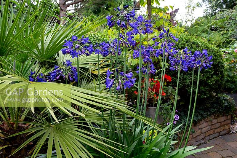 Garden designed by Nick Gough - Washington palm with unknown blue Agapanthus.