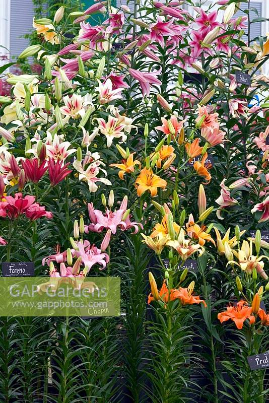 Labelled display of potted Lilium - Lily - in a mixture of flower colours