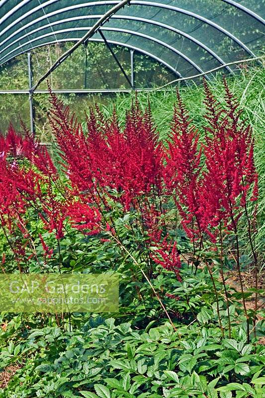 Miscanthus and Astilbe cut flower production at Highcroft Nursery, Cargreen in Cornwall, England.
