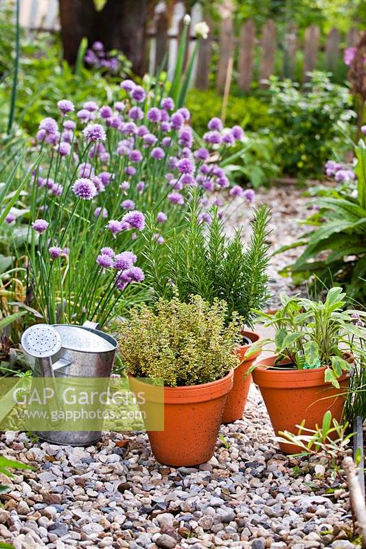 A herb garden with gravel path and small pots herbs: Rosmarinus officinalis - Rosemary, Salvia officinalis - Sage and Thymus x citriodorus 'Aureus' - Thyme, waiting planting and watering in