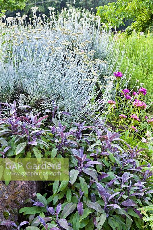 Herb bed with Helichrysum italicum, and Salvia officinalis 'Purpurascens'.