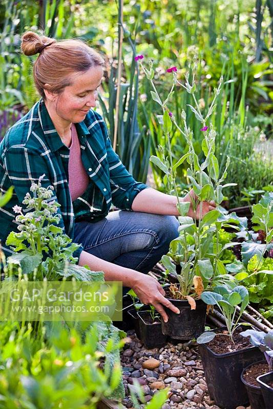 Woman planting Lychnis coronaria in bed.