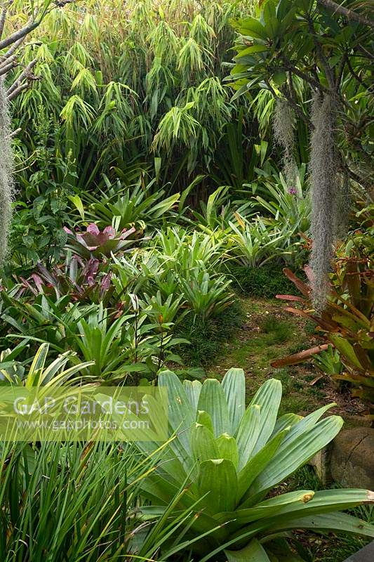 An informal path, edged with Mondo Grass leading through a lush, jungle garden heavily planted with a variety of bromeliads, featuring large Alcantareas, Frangipanis and Airplants.