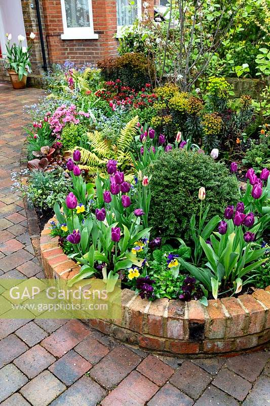 Spring front garden in West London. Purple Flag Tulips - in round bed near gate, taxus baccata - topiary balls in round raised beds.