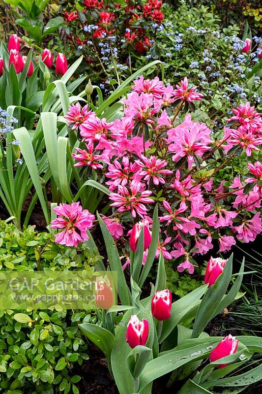 Spring mixed border in West London. Planting includes: Tulip Canasta,  Pink and Red Azaleas