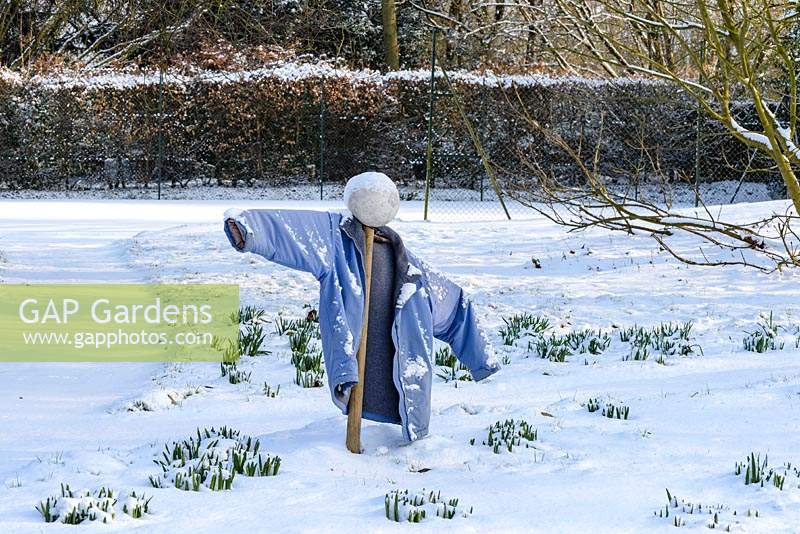 Scarecrow made from an old football and jacket with emerging bulbs in the snow in late February. The Old Rectory