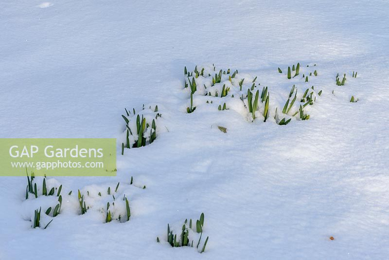 Emerging Narcissi - daffodil bulbs in the snow in late February. The Old Rectory, Suffolk, UK