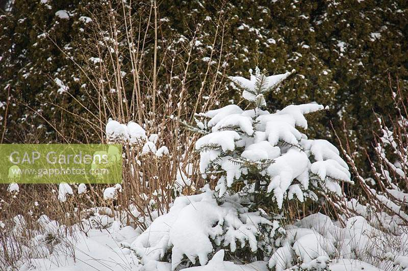 Snow covered border with deciduous shrubs, Bellingham USA.