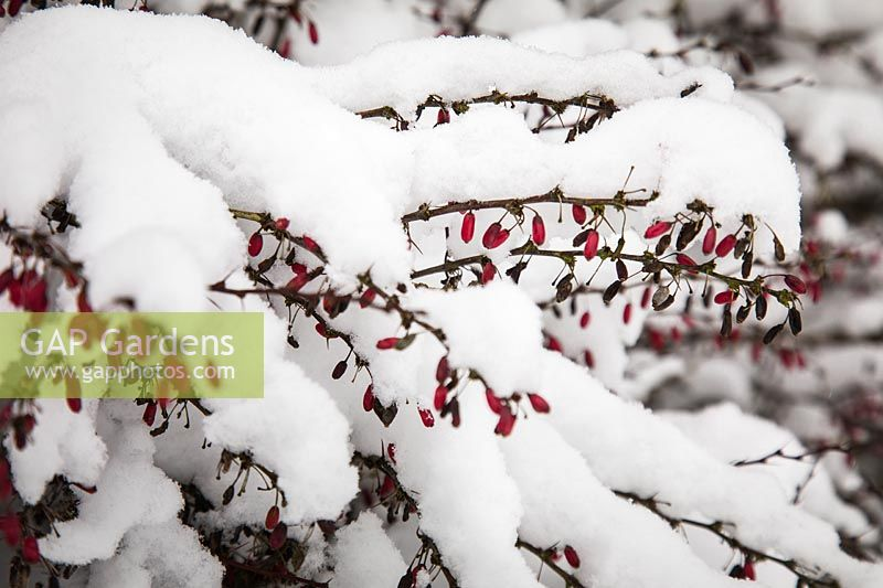 Barberry stems and fruit in snow - Berberis thunbergii.