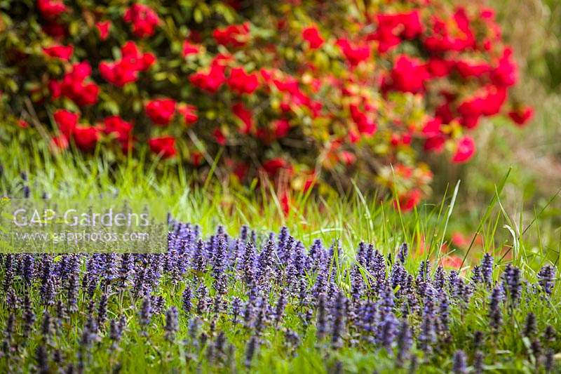 Bugleweed ground cover, red Rhododendron - Ajuga reptans, Rhododendron cv. Bellingham, USA