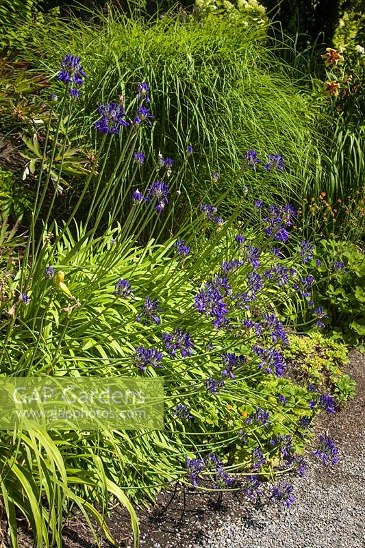 Gap Gardens Agapanthus Inapertus Graskop Lily Of The Nile In