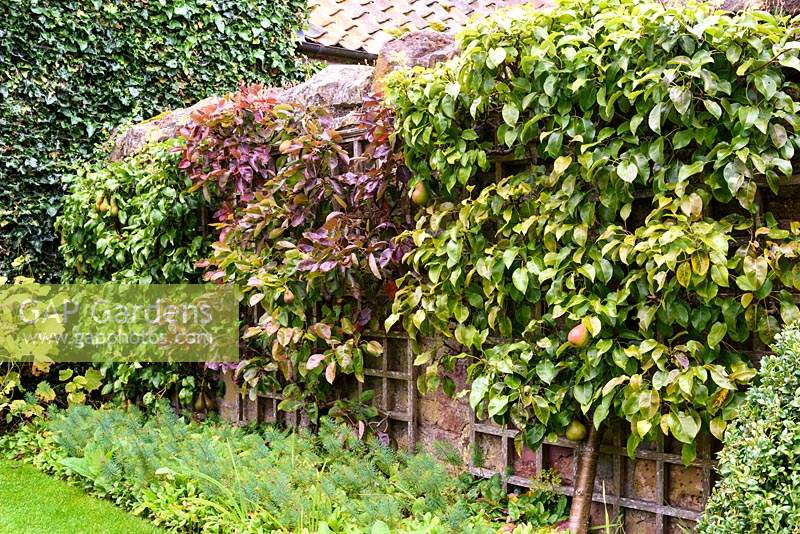 Trained pear trees against a wall of the Lower Courtyard at Broadwoodside, Gifford, East Lothian in Scotland.