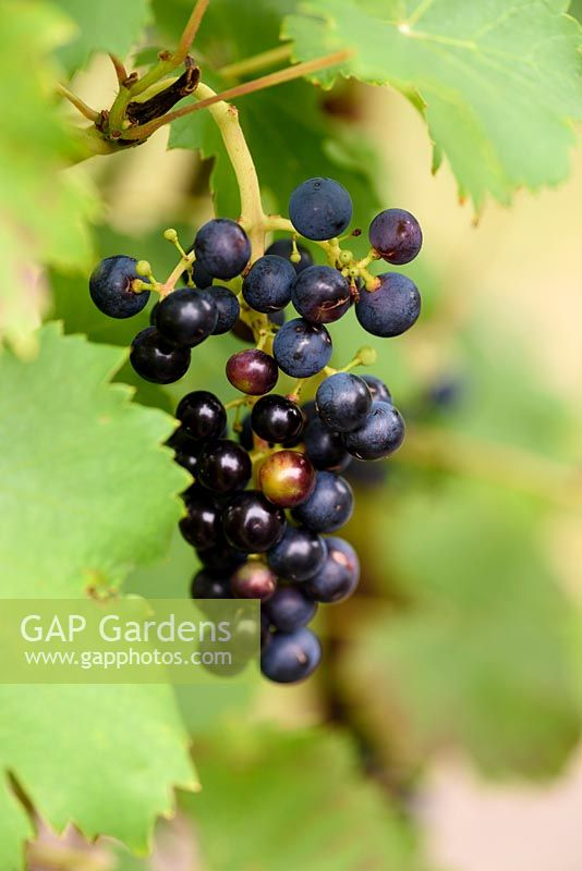 Black grapes - Vitis vinifera 'Purpurea'