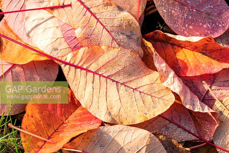 Fallen leaves of Cotinus coggygria in autumn