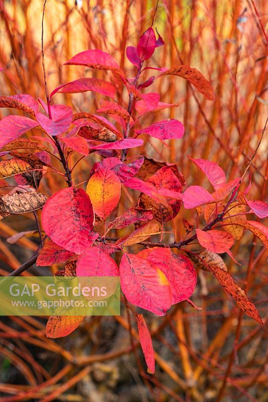 Cotinus Dummer Hybrids No 5 foliage and stems of Salix 'Yelverton' in autumn