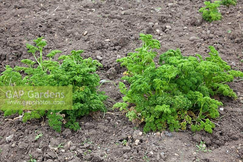 Overwintered parsley, Parsley 'Moss Curled'.