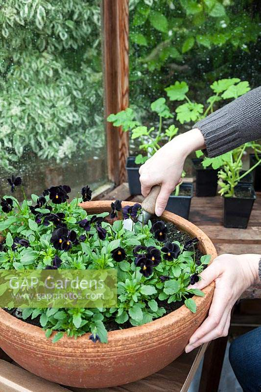 Planting a shallow terracotta pot with black pansies. Viola ' Back to Black'.