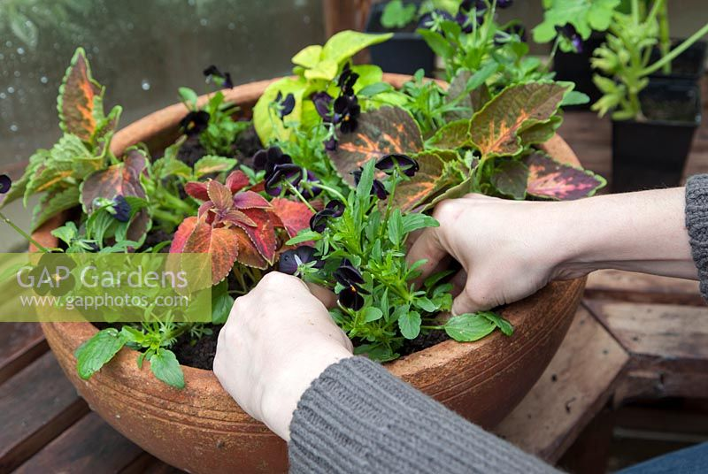 Planting up a shallow terracotta pot with mixed Solenostemon, syn. Coleus and black pansies, Viola 'Back to Black'.