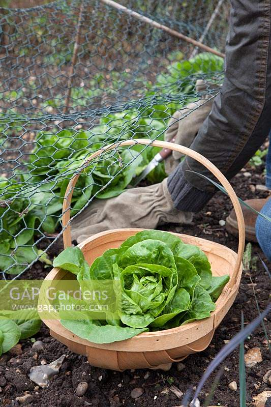 Lady cutting lettuce grown under wire cage, rabbit protection.  Lettuce ' Little Gem'. Lettuce in trug.