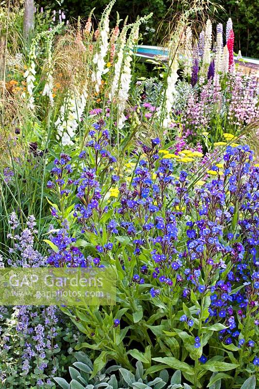 Mixed border with Anchusa 'Loddon Royalist', Nepeta grandiflora 'Summer Magic' and Lupinus polyphyllus.
