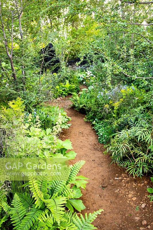 The path in woodland garden amongst Rodgersia podophylla, and ferns Dryopteris cycadina. The M and G Garden. Sponsor: M and G, RHS Chelsea Flower Show 2019. Gold medal winner, Best Show Garden