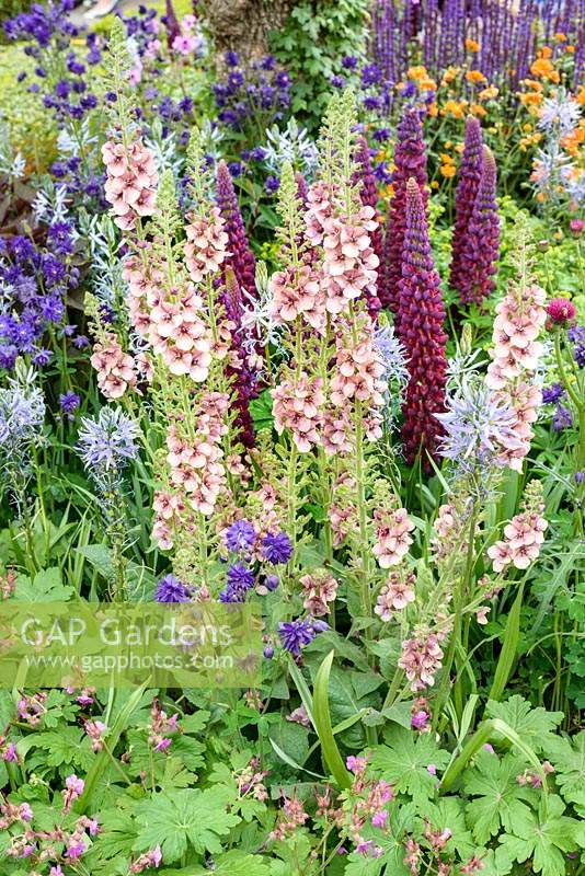 Verbascum 'Merlin', Salvia nemerosa 'Caradonna', Lupinus 'Masterpiece', Aquilegia and Camassia at Morgan Stanley Healthy Cities Garden - RHS Chelsea Flower Show 2015. Sponsor : Morgan Stanley - Gold Medal
