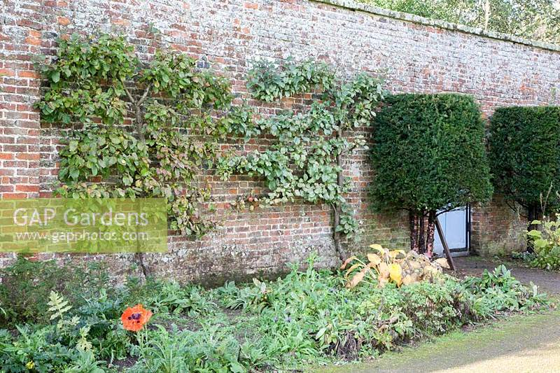 Walled-garden with espaliered fruit trees, topiary Taxus baccata - Yew, Malus 'Howgate Wonder, Prunus and Papaver