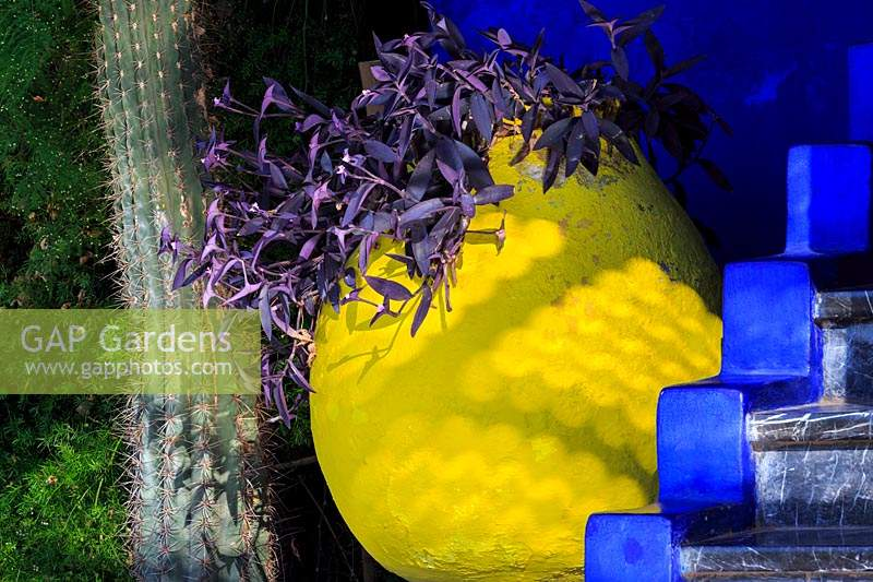 Bright yellow pot containing purple foliage Tradescantia pallida with blue steps in the foreground and cactus Pilosocereus azureus to one side, Le Jardin Majorelle, Majorelle Garden, Marrakech