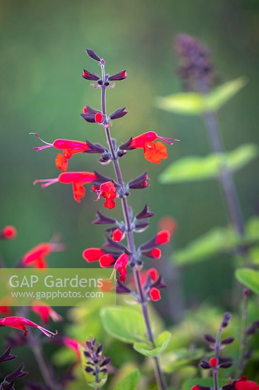 Salvia coccinea 'Forest Fire'