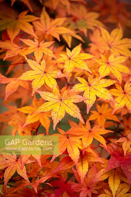 Acer palmatum 'Deshojo' - Corallinum Group - Japanese maple.