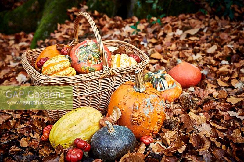 Selection of pumpkins and gourds in woodland with fallen leaves and wicker basket.