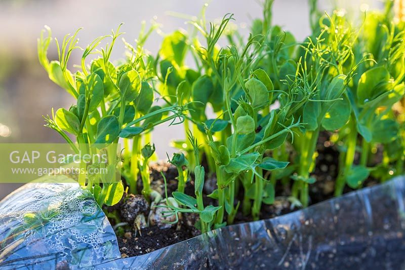 Pea shoots growing in recycled plastic bottle, hanging in windowsill.