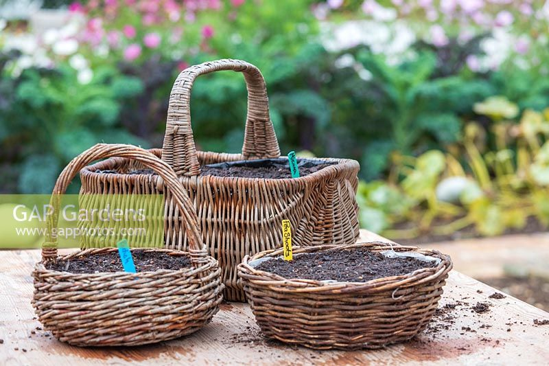 Wicker baskets lined with plastic and sown with seeds of Mizuna, Radish and Peas.