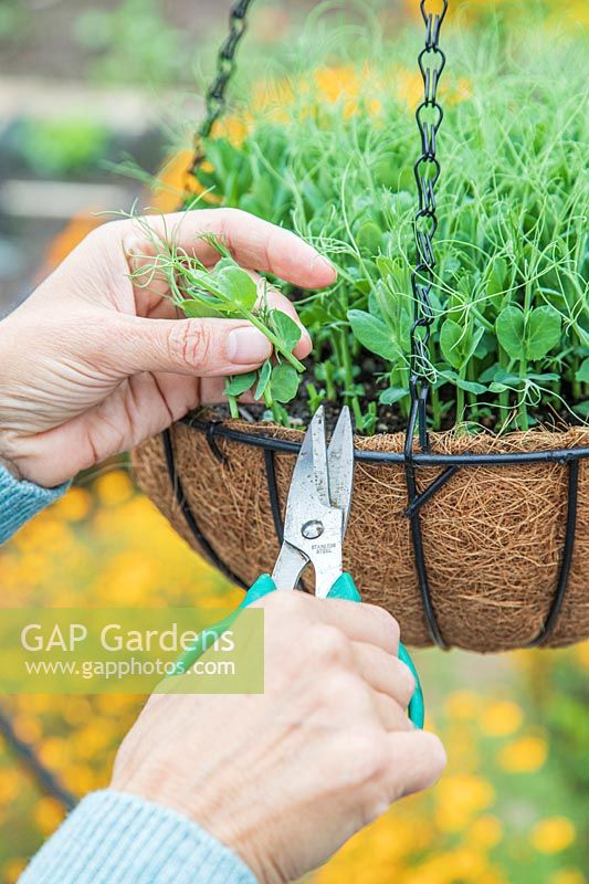 Using scissors to cut Pea shoots growing in hanging basket inside greenhouse